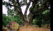 世界最老的荔枝树:荔王